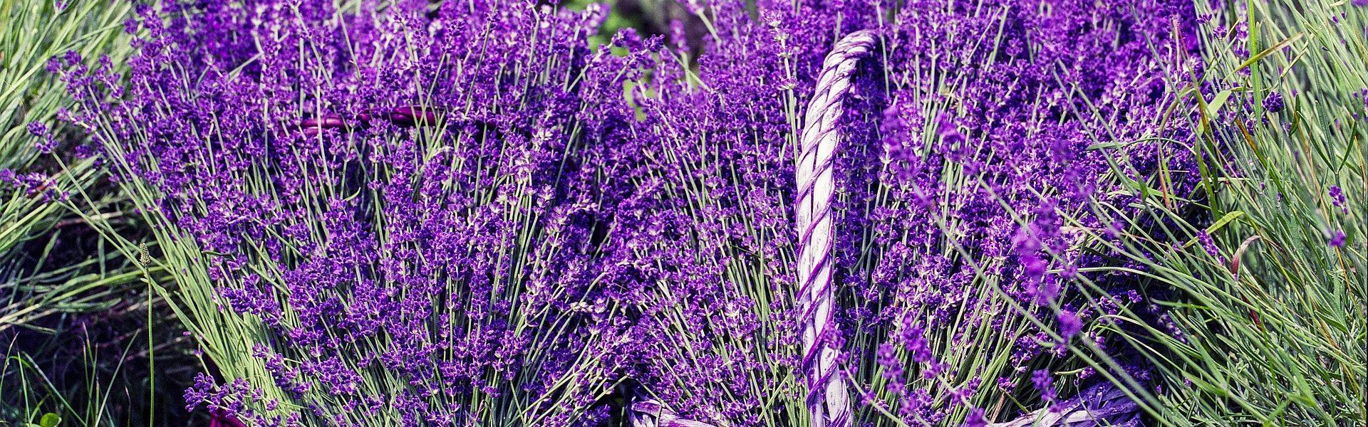 La Lavande - Les vinaigres de cidre aux plantes de Bienvenuta