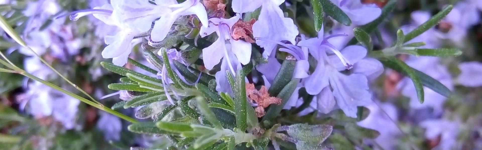 Le Romarin - Les vinaigres de cidre aux plantes de Bienvenuta