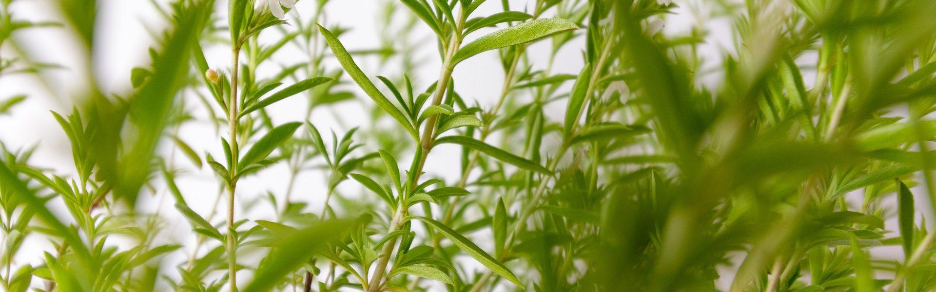 La sarriette- Les vinaigres de cidre aux plantes de Bienvenuta